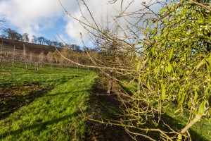 Winter apple orchards with ivy, at Apple County Wassail