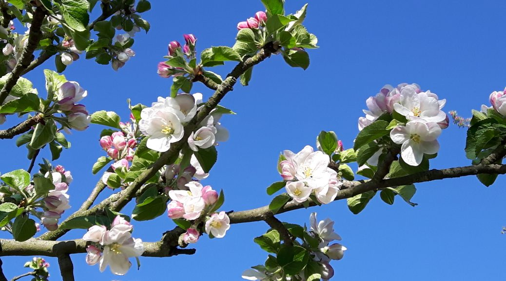 apple blossom against blue sky