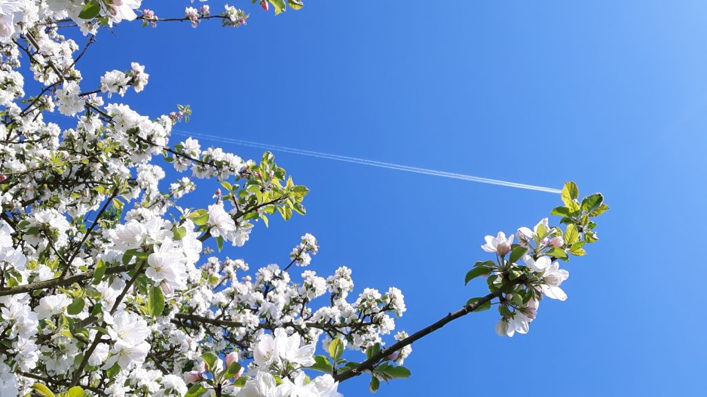 Plane trail in sky above blossom.