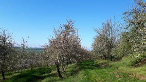 Rows of apple trees in blossom against a blue sky