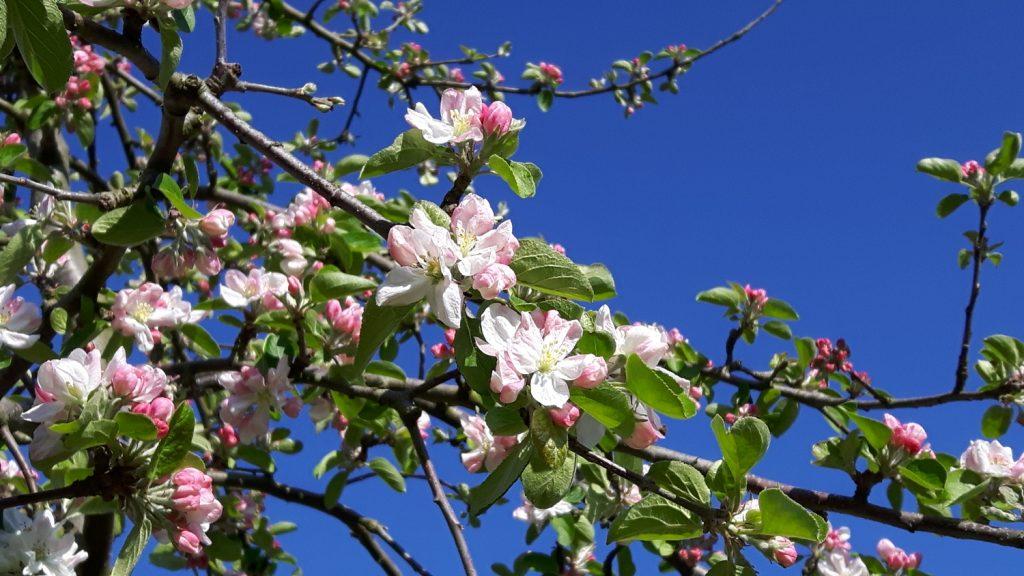 Blossom against the blue sky