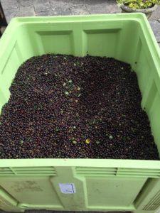 300 kilos of chuckleberries