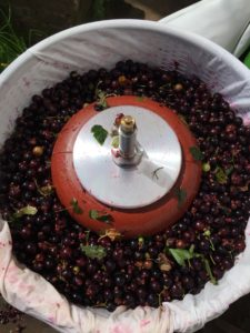 Chuckleberry in the soft fruit press