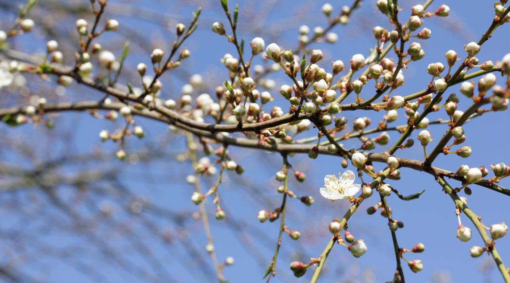 early blossom buds - blog 1