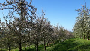 apple blossom orchards