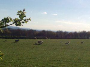 field lambs